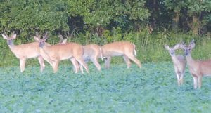 Michigan's white-tailed deer population is healthy and large in numbers. The first segment of deer hunting season, the early antlerless season, opened today.