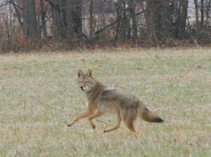 This healthy coyote was captured on film recently in Mayfield Township.