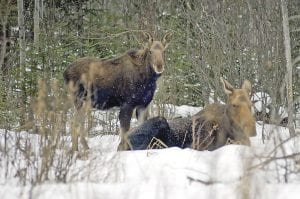 Michigan's moose herd numbers, as well as feasibility of a limited hunt, has both sides arguing as the state Legislature nears the end of its 2010 session.