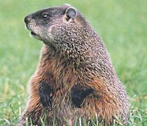 Groundhogs have been a measuring stick for winter for 125 years.