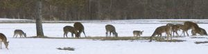 An abundance in deer, particularly in southeast Michigan where this herd was spotted numbering 22 on a property in Lapeer County, has had hunters' attention since the inception of the deer baiting and feeding ban.