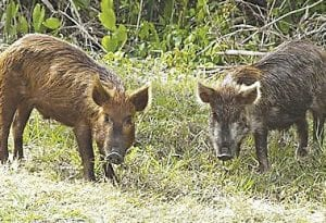 Feral pigs are an invasive species in the state of Michigan.