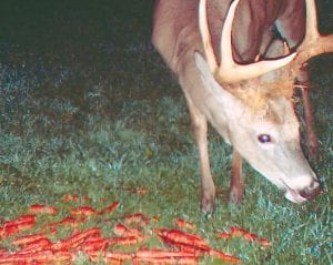 Deer seeking out nighttime snacks will see a difference this season because of the summer drought.