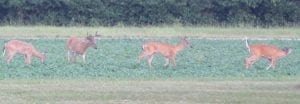 Deer are plentiful in southeast lower Michigan, as this herd roams in a soybean field back in early August.