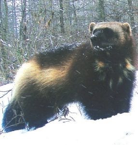 Jeff Ford captured these images of the last known wolverine found in a Minden City swamp.