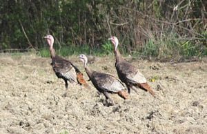 The southeastern Michigan wild turkey population is thriving with numbers approaching 250,000.