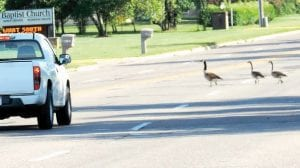 Maybe this gaggle of geese was just passing through but they were stopping traffic on busy Van Slyke Road last week.