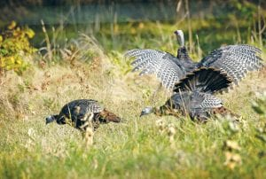 Wild turkey hunting, especially in the spring, is a popular choice for area hunters. Michigan ranks No. 7 in the nation for wild turkey harvesting.