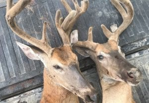 Michigan conservation officers are asking for the public's assistance as they investigate the poaching of two adult male deer, shown here, in Tuscola County's Akron Township. Call or text the Report All Poaching hotline at 800- 292-7800.